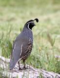 BIRD - QUAIL - CALIFORNIA QUAIL - PINNACLES NATIONAL MONUMENT CALIFORNIA (4).JPG