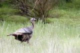 BIRD - TURKEY - WILD TURKEY - PINNACLES NATIONAL MONUMENT CALIFORNIA (2).JPG