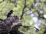 BIRD - WOODPECKER - ACORN WOODPECKER - PINNACLES NATIONAL MONUMENT CALIFORNIA (13).JPG