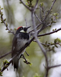 BIRD - WOODPECKER - ACORN WOODPECKER - PINNACLES NATIONAL MONUMENT CALIFORNIA (2).JPG