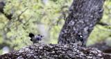 BIRD - WOODPECKER - ACORN WOODPECKER - PINNACLES NATIONAL MONUMENT CALIFORNIA (8).JPG