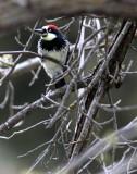 BIRD - WOODPECKER - ACORN WOODPECKER - PINNACLES NATIONAL MONUMENT CALIFORNIA.JPG