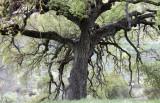 FAGACEAE - QUERCUS SPECIES - COASTAL LIVE OAK SPECIES - PINNACLES NATIONAL MONUMENT CALIFORNIA (5).JPG