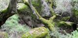 PINNACLES NATIONAL MONUMENT CALIFORNIA - QUERCUS FOREST (3).JPG