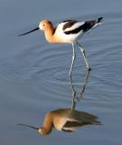 BIRD - AVOCET - AMERICAN AVOCET - SAN JOAQUIN WILDLIFE REFUGE IRVINE CALIFORNIA (17).JPG