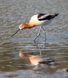 BIRD - AVOCET - AMERICAN AVOCET - SAN JOAQUIN WILDLIFE REFUGE IRVINE CALIFORNIA (21).JPG