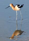 BIRD - AVOCET - AMERICAN AVOCET - SAN JOAQUIN WILDLIFE REFUGE IRVINE CALIFORNIA (4).JPG