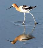 BIRD - AVOCET - AMERICAN AVOCET - SAN JOAQUIN WILDLIFE REFUGE IRVINE CALIFORNIA (6).JPG