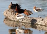 BIRD - AVOCET - AMERICAN AVOCET - WITH DUCKS - SAN JOAQUIN WILDLIFE REFUGE IRVINE CALIFORNIA.JPG