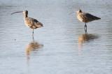BIRD - CURLEW - LONG-BILLED CURLEW - SAN JOAQUIN WILDLIFE REFUGE IRVINE CALIFORNIA (2).JPG