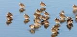 BIRD - DOWITCHER - LONG-BILLED DOWITCHER - SAN JOAQUIN WILDLIFE REFUGE IRVINE CALIFORNIA.JPG