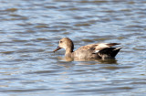 BIRD - DUCK - GADWALL - SAN JOAQUIN WILDLIFE REFUGE IRVINE CALIFORNIA (3).JPG