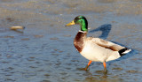 BIRD - DUCK - MALLARD - SAN JOAQUIN WILDLIFE REFUGE IRVINE CALIFORNIA (2).JPG