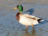 BIRD - DUCK - MALLARD - SAN JOAQUIN WILDLIFE REFUGE IRVINE CALIFORNIA (3).JPG