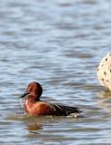 BIRD - DUCK - TEAK - CINNAMON TEAK - SAN JOAQUIN WILDLIFE REFUGE IRVINE CALIFORNIA (2).JPG