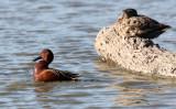 BIRD - DUCK - TEAK - CINNAMON TEAK - SAN JOAQUIN WILDLIFE REFUGE IRVINE CALIFORNIA (3).JPG
