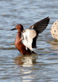BIRD - DUCK - TEAK - CINNAMON TEAK - SAN JOAQUIN WILDLIFE REFUGE IRVINE CALIFORNIA (5).JPG