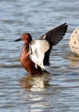 BIRD - DUCK - TEAK - CINNAMON TEAK - SAN JOAQUIN WILDLIFE REFUGE IRVINE CALIFORNIA (6).jpg
