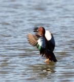 BIRD - DUCK - TEAK - CINNAMON TEAK - SAN JOAQUIN WILDLIFE REFUGE IRVINE CALIFORNIA (8).JPG