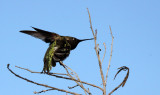 BIRD - HUMMINGBIRD - BLACK-CHINNED HUMMINGBIRD - SAN JOAQUIN WILDLIFE RESERVE IRVINE CALIFORNIA (12).JPG