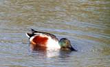 BIRD - SHOVELER - NORTHERN SHOVELER - SAN JOAQUIN WILDLIFE REFUGE IRVINE CALIFORNIA (2).JPG