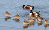 BIRD - SHOVELER - NORTHERN SHOVELER - SAN JOAQUIN WILDLIFE REFUGE IRVINE CALIFORNIA.JPG