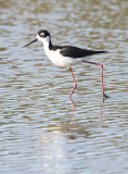 BIRD - STILT - BLACK-NECKED STILT - SAN JOAQUIN WILDLIFE REFUGE IRVINE CALIFORNIA (13).JPG