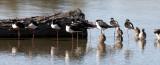 BIRD - STILT - BLACK-NECKED STILT - SAN JOAQUIN WILDLIFE REFUGE IRVINE CALIFORNIA (22).JPG