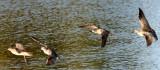 BIRD - WHIMBREL - SAN JOAQUIN WILDLIFE REFUGE IRVINE CALIFORNIA (2).JPG