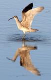 BIRD - WHIMBREL - SAN JOAQUIN WILDLIFE REFUGE IRVINE CALIFORNIA (22).JPG