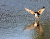 BIRD - WHIMBREL - SAN JOAQUIN WILDLIFE REFUGE IRVINE CALIFORNIA (6).JPG