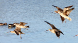 BIRD - WHIMBREL - SAN JOAQUIN WILDLIFE REFUGE IRVINE CALIFORNIA.JPG