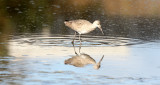 BIRD - WILLET - SAN JOAQUIN WILDLIFE REFUGE IRVINE CALIFORNIA (2).JPG