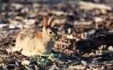 LAGOMORPH - RABBIT - DESERT COTTONTAIL - SAN JOAQUIN WILDLIFE REFUGE IRVINE CALIFORNIA (8).JPG