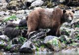 Bears & Wildlife of Knight Inlet, British Columbia