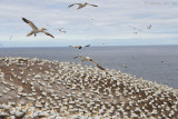 Gannets building nests.jpg