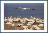 Gannets at Bonaventure.jpg