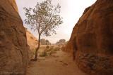 Rare tree Wadi Rum.jpg