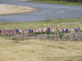 hyacinths 2.JPG