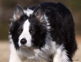 Valhalla Farm Border Collies