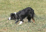 Jenny Glen's Laddie - Most Promising Young Dog