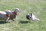 McCloud catches some of the collared sheep trying to escape