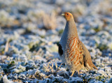 Grey Partridge, male