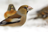 Stenknäck - Hawfinch