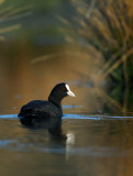 Common Coot - Sothöna