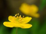 Anemone ranunculoides - Gulsippa
