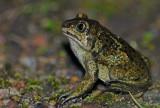 Lökgroda (Pelobates fuscus)