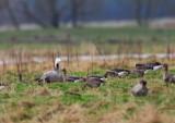Hybrid including Emperor Goose