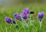 Pulsatilla vulgaris and Bumble Bee