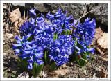 Hyacinth 2.jpg